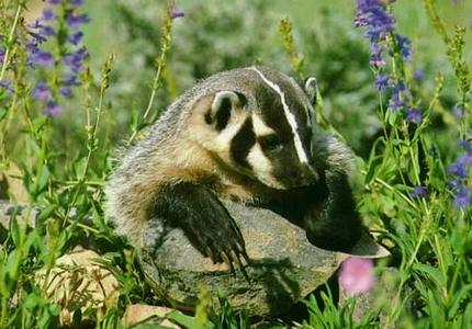 Badger food habits