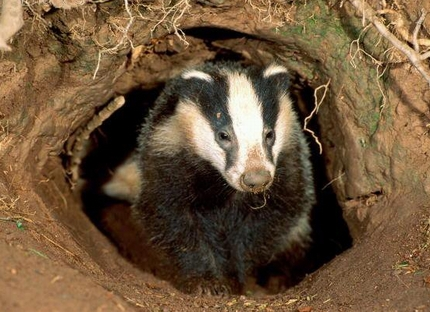 Badger Biology and Behavior