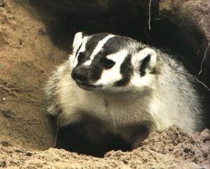 Badger Identification