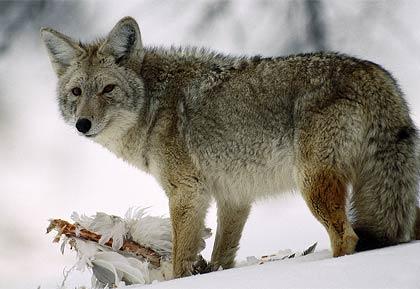 Coyote Identification