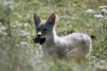 Coyote with food