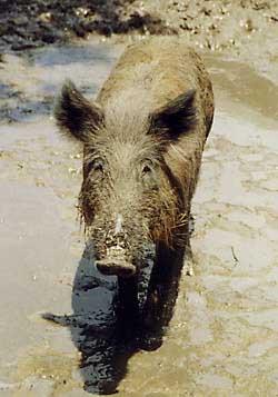 Feral Hog Biology