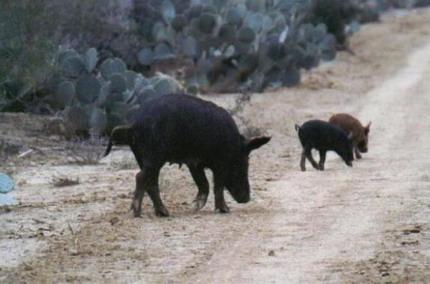 Feral Hog Habitat