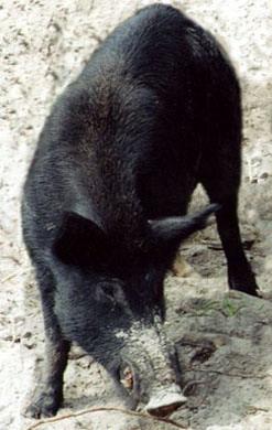 Feral Hog ID