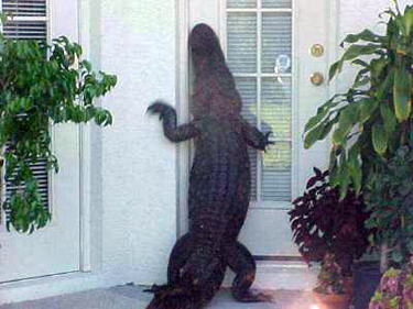 Alligator Attacking House