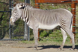 Man Arrested for Drive-By on a Zebra