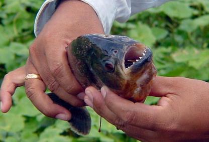 Piranha in North Carolina River
