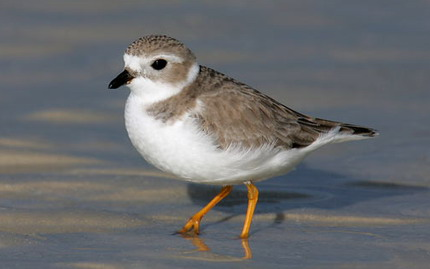 Piping Plover Makes A Comeback