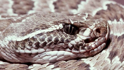 Snakes With Triangle Shaped Heads http://garagejournal.com/forum/showthread.php?p=2341348